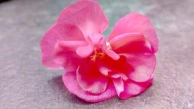 Geranium flower. Pink garden beauty design background image stock images