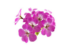 Geranium flower. Pink geranium flower isolated on white background royalty free stock image