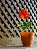 Geranium flower. Royalty Free Stock Image