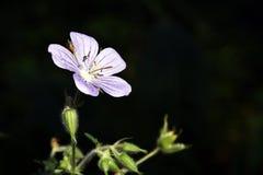 Geranium. Flower of a geranium of the sort Geranium pratense stock images