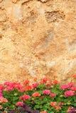 Geranium flower. The geranium flower under large rock. Scientific name: Pelargonium hortorum royalty free stock photography