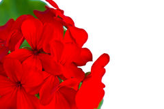 Geranium flower on a white background Stock Photo