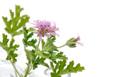 Geranium Royalty Free Stock Photos