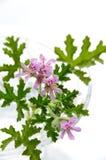Geranium. Flower in white background royalty free stock photos