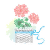 Geranium flower in a wicker basket with a bow. Vector illustration of a flower isolated pink geraniums in a wicker basket with a bow and watercolor stain Stock Photo