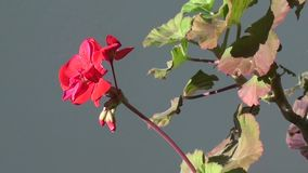 Geranium flower zoom out stock video