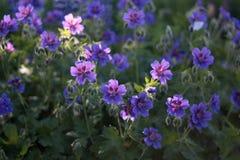 Geranium. Flowering geranium in a garden Stock Images