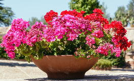 Geranium in flowerpot outdoor. Beautiful red geranium plant in the flowerpot outdoor stock photos