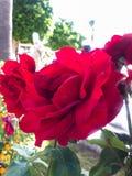 Geranium Flowers. Close up background stock photos