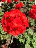 Geranium Flowers. Close up background royalty free stock image