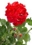 Geranium flowers. Close-up geranium flowers, isolated on white stock images