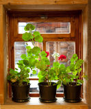 Geranium flowers. On the window of the wood house royalty free stock photography