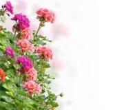 Geranium Flowers. Colorful Geranium Flowers On White Background Stock Photography
