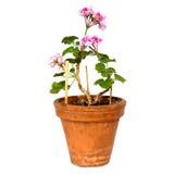 Geranium flowers Royalty Free Stock Photo