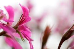 Geranium Flowers. Closeup of beautiful violet Geranium flowers in summer Stock Photo