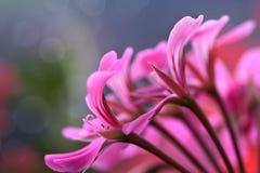 Geranium Flowers Stock Images