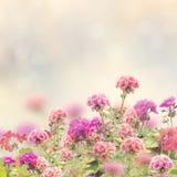 Geranium Flowers Background Stock Photo