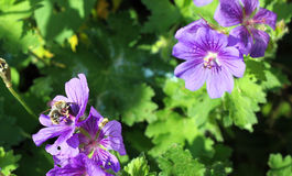Geranium flowers with bee. Stock Image