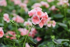 Geranium flowers bloom in the summer.  royalty free stock photo