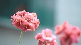 Geranium flowers in bloom with water raindrops stock video footage