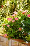 Geranium flowers. Bush of pink geranium. Geranium flowers, pink geranium flowers in summer garden royalty free stock image