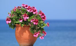 Geranium flowers in front of the sea. Beautiful geranium flowers in a pot in front of the ocean stock photos