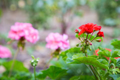 Geranium flowers in the garden Royalty Free Stock Image