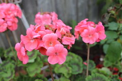 Geranium flowers. The gorgeous blooms just radiate warmth and hapiness with the beautiful pink flowers Royalty Free Stock Photos