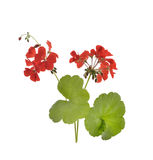 Geranium Flowers Stock Photos