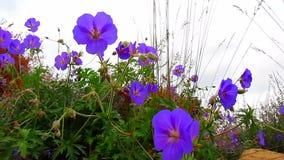 Geranium flowers stock video