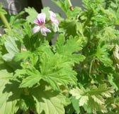 Geranium flowers pelargonium graveolens blooms royalty free stock image