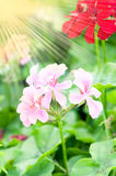 Geranium flowers and plants useful as a background Stock Photos