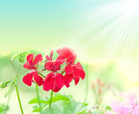 Geranium flowers and plants useful as a background Stock Photo
