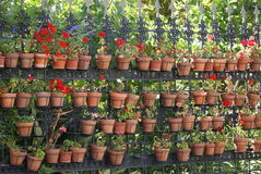 Geranium flowers in pots hanging on a railing Stock Images