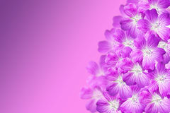 The Geranium Flowers On A Purple Gradient Background Royalty Free Stock Photos