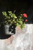 Geranium flowers. Red Geranium flowers in a old black pot stock photos
