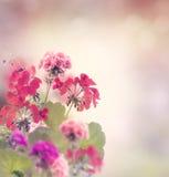 Geranium Flowers Stock Image