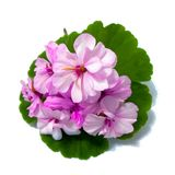 Geranium flowers in the shape of roses fresh on the green leaf, stock photography