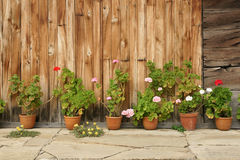 Geranium flowers. Village, countryside, rural, traditional style, historical house, exterior, stone floors, wooden walls, old boards, clay pots, plants Stock Photos