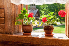Geranium flowers on the window of old wooden house Stock Image