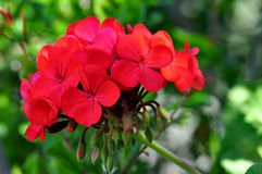Geranium in the foreground Stock Image