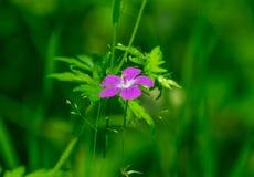 Geranium forest. Royalty Free Stock Photos