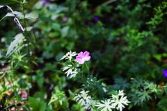 Geranium forest flowers summer nature forest. Clearing holidays stock photos