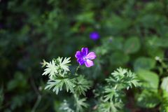Geranium forest flowers summer nature forest. Clearing holidays royalty free stock photos