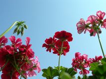 Geranium forest looking to the sky stock images