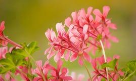 Geranium in garden Royalty Free Stock Photos