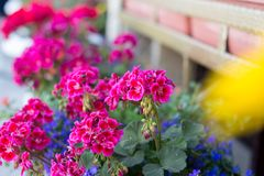 Geranium in the gardening of balconies stock photography