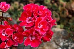 Geranium. Beautiful garden flowers / blossom in summer Stock Photos