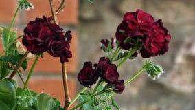 Geranium. Burgundy in a pat stock photography