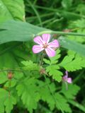Geranium. In forest stock photography